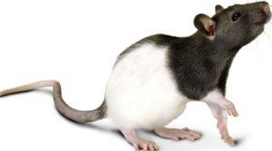 Завести крысу 2