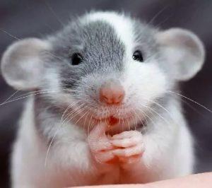 Завести крысу