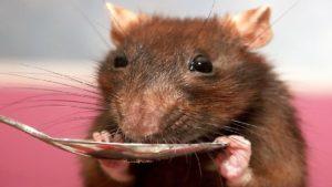 Завести крысу 4